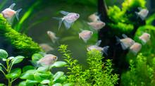 Small Aquarium Fish In The Aqu...