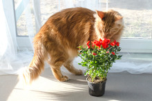Red Marble Maine Coon Cat Sniffing Red Rose Flowers In A Pot