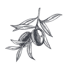 Vector Vintage Botanical Illustration Of Olive Branch In Engraving Style. Hand Drawn Sketch Of Plant With Fruits Isolated On White