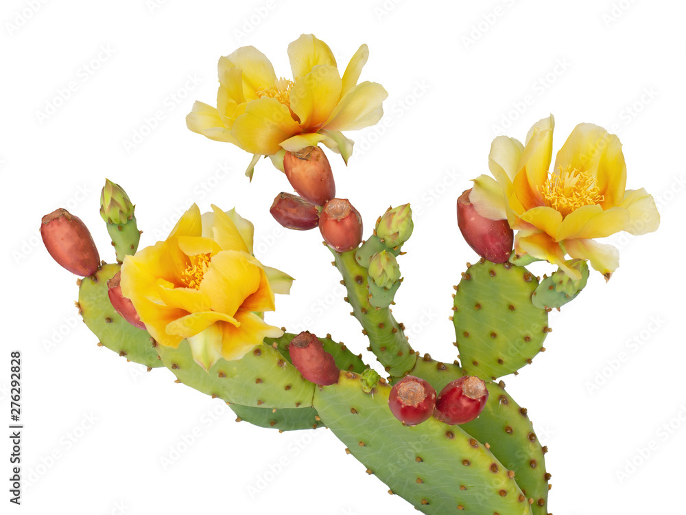 Fototapeta Cactus flowers and young fruit, Indian fig. Isolated on white. Opuntia ficus indica.