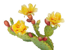 Cactus Flowers And Young Fruit...