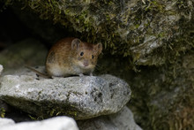 Field Mouse Looking Out From Its Den