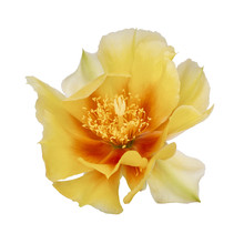 Cactus Flower, Indian Fig. Isolated On White. Opuntia Ficus Indica.