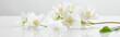 panoramic shot of jasmine flowers on white surface
