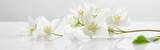 Fototapeta Kwiaty - panoramic shot of jasmine flowers on white surface
