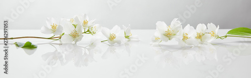 Fototapeta panoramic shot of jasmine flowers on white surface obraz