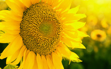 Sunflower Field At Sunset Close Up. Beautiful Nature Summer Background For Posters, Seasonal Cards, Blogs