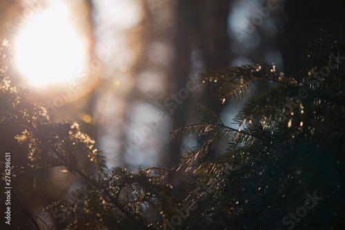 фотография  Golden sunshine on pine tree in forest