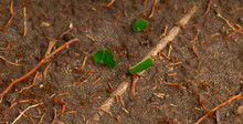 LEAFCUTTER ANT - HORMIGAS CORT...