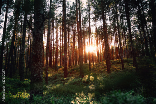 Beautiful landscape, sunset in the dense pine forest, the beauty of northern nat Wallpaper Mural