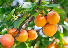 Ripe Apricots In The Orchard