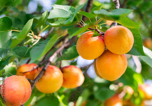 Photo Ripe apricots in the orchard