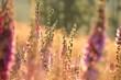 canvas print picture - Purple foxglove (Digitalis purpurea) at dawn