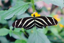Black White  Butterfly On Leaf