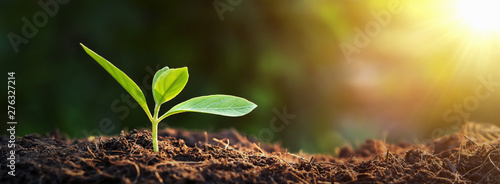 Fototapeta panorama small tree growing with sunrise. green world and earth day concept obraz