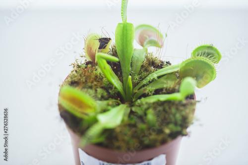 Fotomural  Potted Predator Venus Flytrap, Dionaea Muscipula