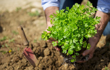 Man Plant Fresh Parsley