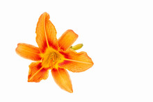 Flowers Of An Orange Daylily On A White Isolated Background. Decorative Items. Beautiful Flowers.