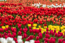 Colorful Tulip Flower Field, I...