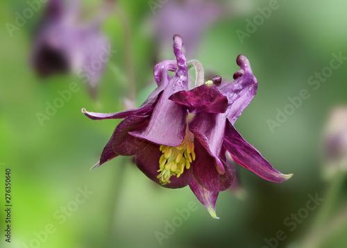 Akelei, Aquilegia: violette Blüte der Zierpflanze vor unscharfem grünem Hintergr Wallpaper Mural
