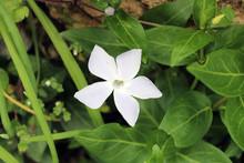 Fiore Stella Bianco Di Gelsomi...