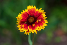Gaillardia Aristata Red Yellow Flower In Bloom, Common Blanketflower Flowering Plant