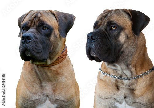 A rare breed of dog - the Boerboel (South African Mastiff