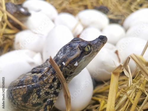 Poster Crocodile Baby crocodiles hatch from eggs