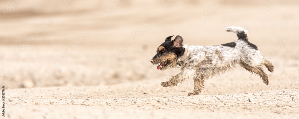 Fototapety, obrazy: Small cute dog running on dry sandy ground and have fun. Jack Russell Terriers 4 years young