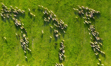 Aerial View At The Sheeps Herd...
