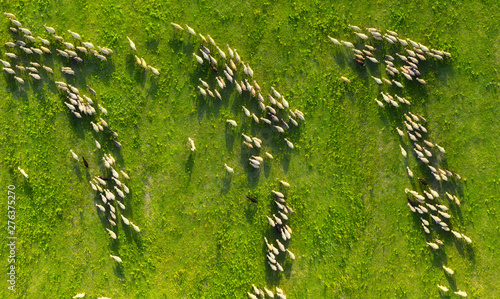 Fotografia, Obraz Aerial view at the sheeps herd