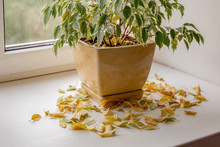 Take Care Of Household Plants And Flowers. Flower Got Yellow And Dry At Home. Plant Loosing Dead Yellow Leaves