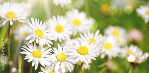 Foto op Canvas Madeliefjes Gänseblümchen Blumenwiese - Frühling Sommer Hintergrund Panorama