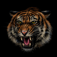 Growling Tiger. Color, Hand-dr...