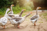 A flock of beautiful domestic geese walking in a meadow near a farmhouse Gray farm geese Rural landscape Sun flare