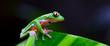 GOLDEN-EYED LEAF FROG - RANA DE HOJA DE OJOS DORADOS (Agalychnis annae),  Costa Rica, Central America, America