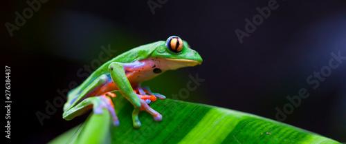 Photo sur Toile Grenouille GOLDEN-EYED LEAF FROG - RANA DE HOJA DE OJOS DORADOS (Agalychnis annae), Costa Rica, Central America, America