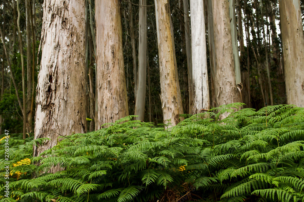 Fototapety, obrazy: Green ferns growing among the eucalup trees