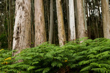 Green ferns growing among the eucalup trees - 276394647