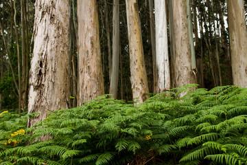 Obraz na SzkleGreen ferns growing among the eucalup trees