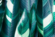 Heliconia variegated foliage, Exotic tropical leaf texture, dark green foliage nature background