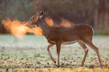 Whitetail Deer Breath