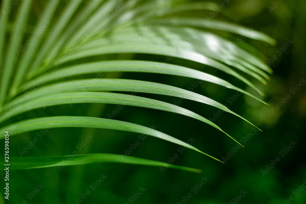 Fototapety, obrazy: Palm green leaf. Tropical plants. Nature background.