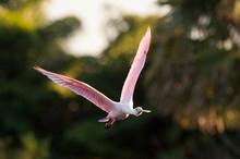 Flying Roseate Spoonbill In Late Sun