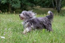 Hund Bearded Collie Beim Spiel...