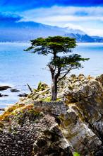 Lone Cypress Tree, Big Sur, California