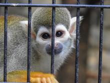 Squirrel Monkey Looking Sad Be...
