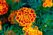 Marigold Flower Blossom In Garden. Head Of Orange And Yellow Marigold Plant, Close Up