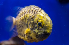 Pineapplefish (Cleidopus Glori...