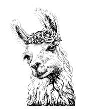 Lama/Alpaca. Sticker On The Wa...